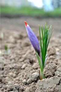il fiore di zafferano
