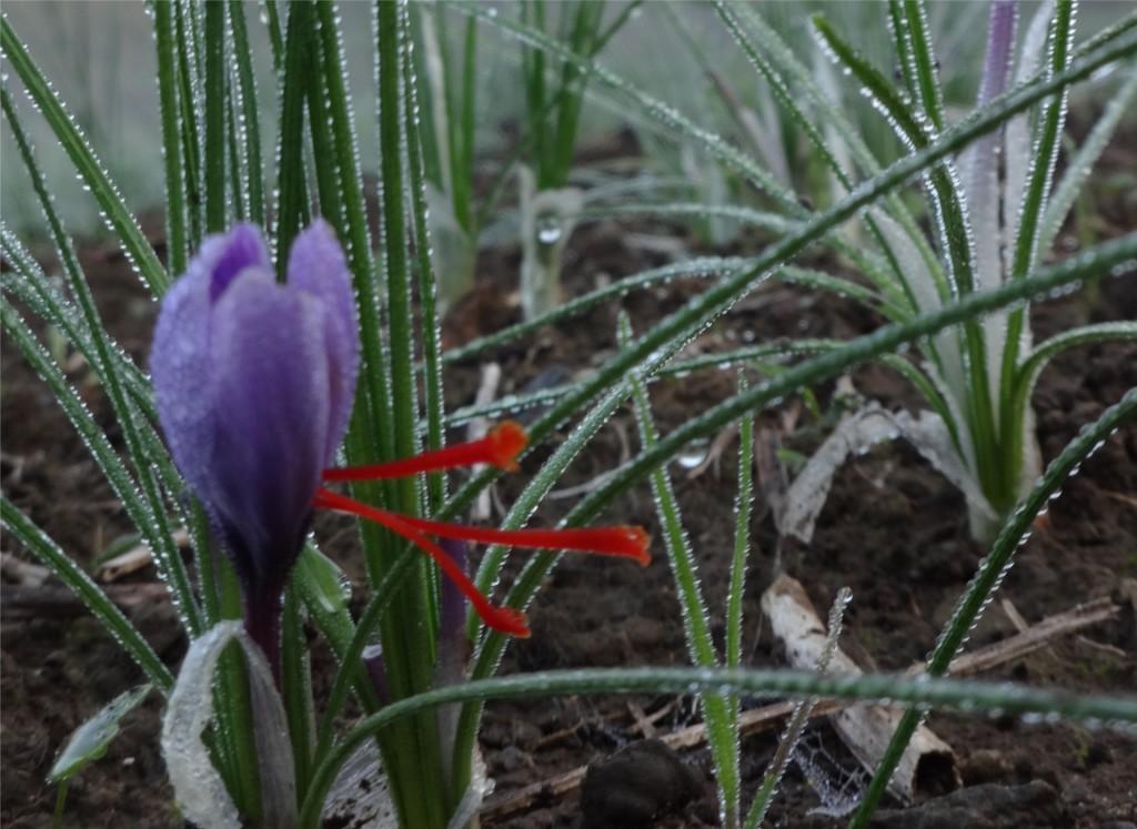 coltivare zafferano in brianza