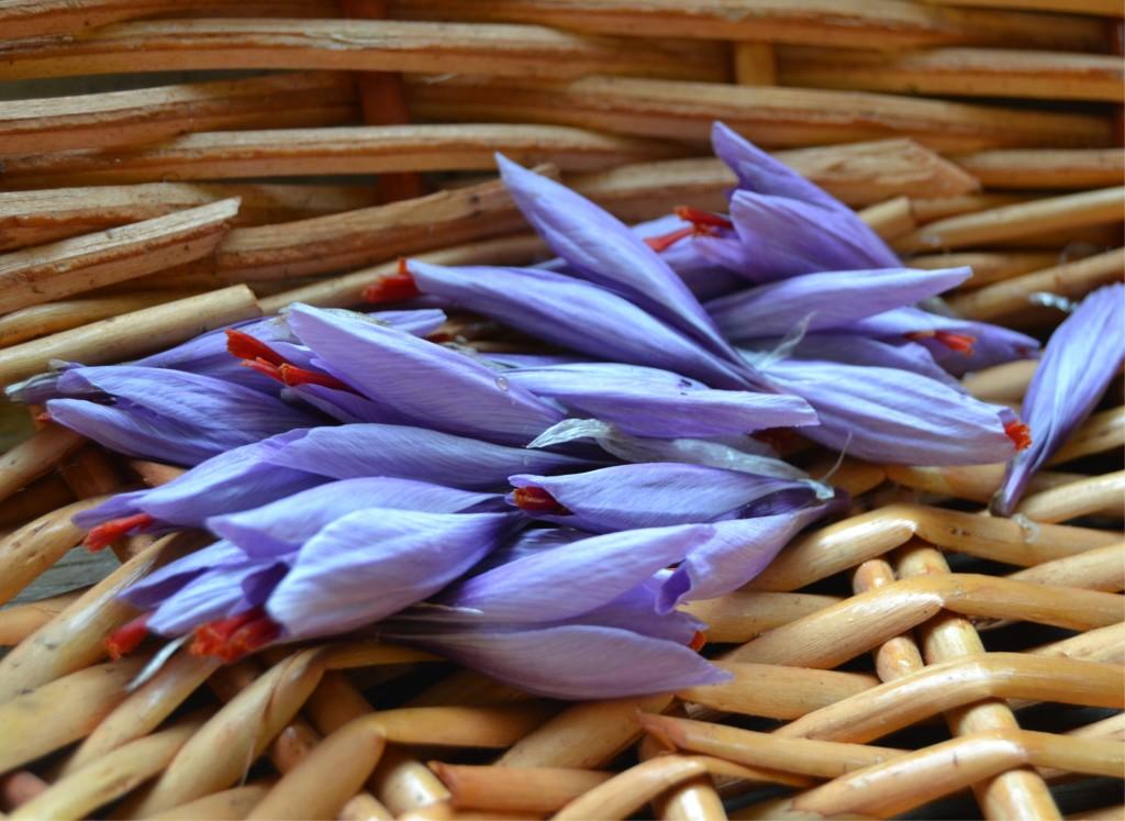 fiori di zafferano brianzolo